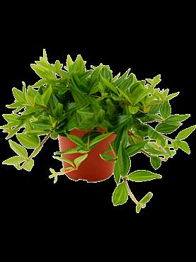 Peperomia angulata D20xH20 cm Planta radiator