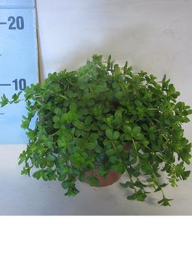 Peperomia deppeane 20 cm Planta radiator
