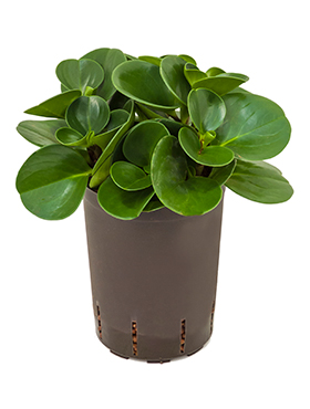 Peperomia green gold D20xH30 cm