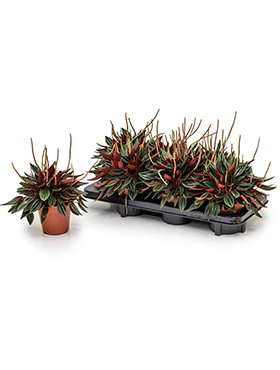 Peperomia rosso 25 cm Planta radiator