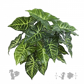 Philodendron 45 cm
