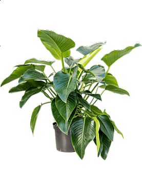 Philodendron beauty D100xH110 cm