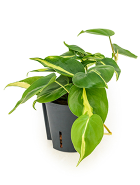 Philodendron Grand Brazil D15xH20 cm