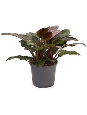 Philodendron imperial red D90xH80 cm