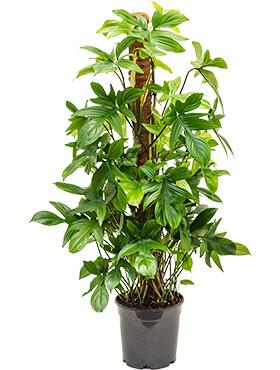 Philodendron pedatum D60xH90 cm