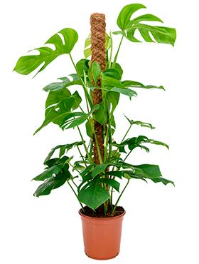 Philodendron pertusem (monstera) D70xH110 cm