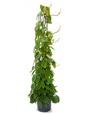 Philodendron scandens D40xH160 cm