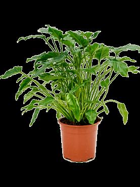 Philodendron xanadu D60xH60 cm