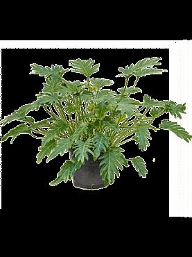 Philodendron xanadu D80xH90 cm