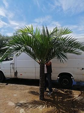 Phoenix palm H250-275 cm