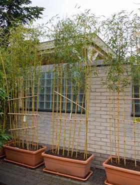 Phyllostachys spectabillis 260 cm 76299 Bambus