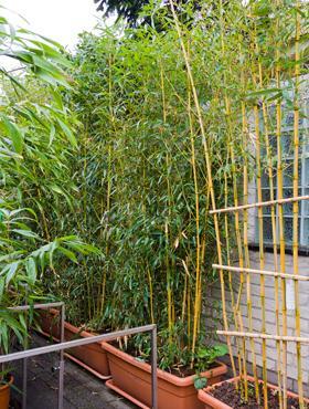 Phyllostachys spectabillis 260 cm Bambus