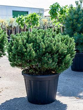 Pinus mugo mops 120 cm Jneapanul -Pin de piatra - Cetina stramba