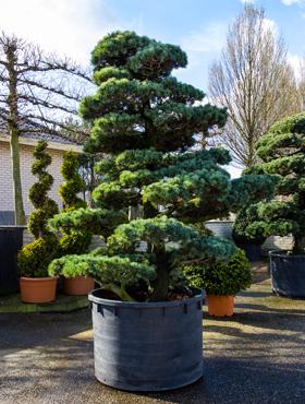 Pinus parvifolia 320 cm Bonsai - Pinul alb japonez