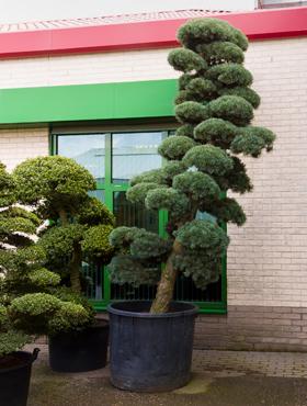 Pinus parvifolia 425 cm Bonsai - Pinul alb japonez