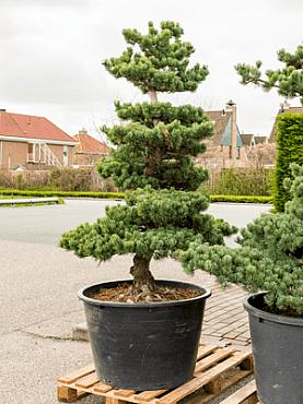Pinus parvifolia D140cm x H200 cm Bonsai