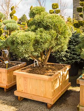 Pinus sylvestris watereri 205 cm Bonsai - Pinul de padure