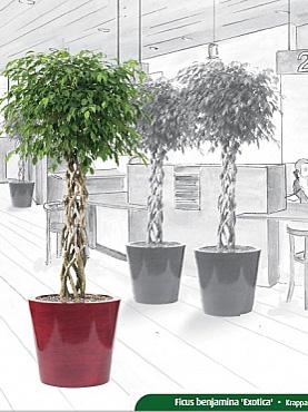 Planta Ficus benjamina Exotica in Ghiveci sintetic Krappa