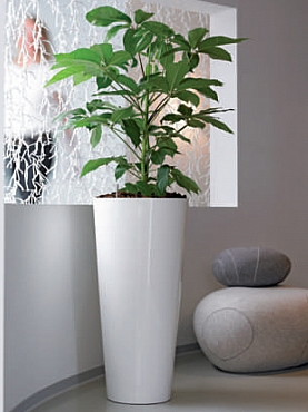 Planta natura Schefflera Actinophylla Amate in ghiveci Plants First Choice Solid