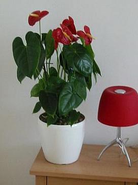 Planta naturala Anthurium in ghiveci Lechuza Classico