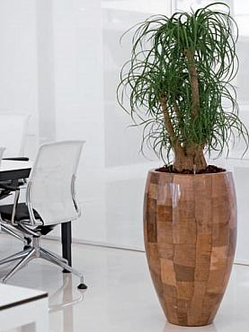 Planta naturala Beaucarnea recurvata in ghiveci Leaf Planter