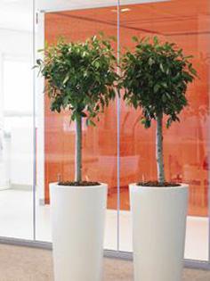 Planta naturala Bonsai in ghiveci Krappa columnar