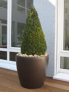 Planta naturala Buxus in ghiveci Lechuza Classico
