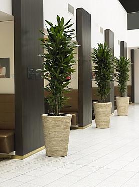 Planta naturala Ficus in ghiveci Bananaplanter