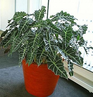 Planta naturala in ghiveci Krappa bamboo 76x66 cm