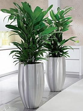 Planta naturala in ghiveci Plants First Choice Bubba