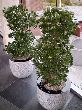 Planta naturala in ghiveci rotund Eggmosaic Couple flagstone
