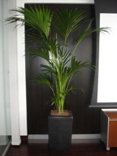 Planta naturala Palmier in ghiveci Zinc look chinook