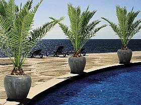 Planta naturala Phoenix Roebelini in ghiveci ceramic Water Jar