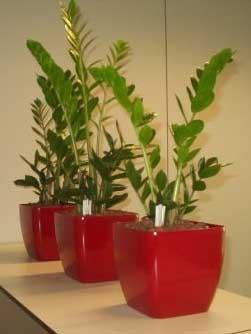 Planta naturala Zamioculcas in ghiveci Lechuza Quadro