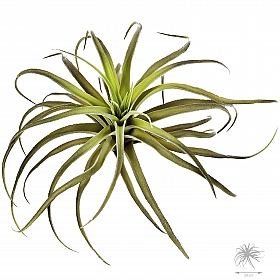 Planta ratificiala aeriana Tillandsia D29 cm