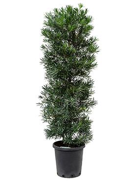 Podocarpus macrophyllus 180 cm Kusamaki - Inumaki- Pin feriga - Pin budist