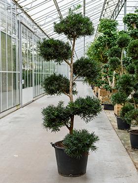 Podocarpus macrophyllus D145xH275 cm Kusamaki - Inumaki- Pin feriga - Pin budist