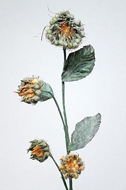 Queen Ann s 60 cm HO galben