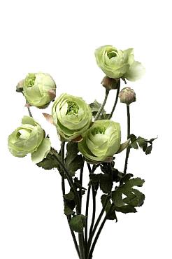 Ranunculus 60 cm HO verde