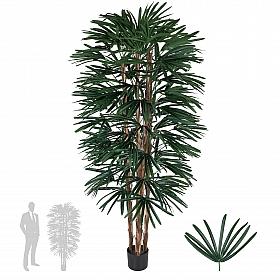Rhapis excelsa H180cm cu 102 frunze