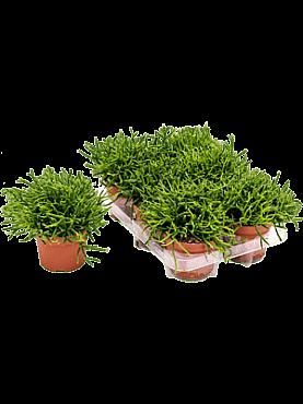 Rhipsalis burchellii D20xH20 cm Cactus vasc