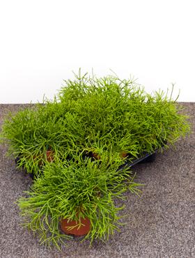 Rhipsalis lindbergeriana 40 cm Cactus vasc