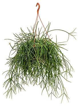 Rhipsalis mauretiana 60 cm Cactus vasc