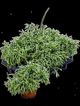Rhipsalis pilocarpa D20xH20 cm Cactus vasc