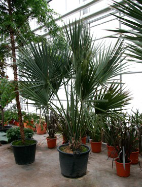 Sabal palmetto 250 cm Palmierul ventilator - Varza palmier - Palmetto albastru
