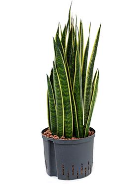 Sansevieria alis 60 cm Sulita Africana