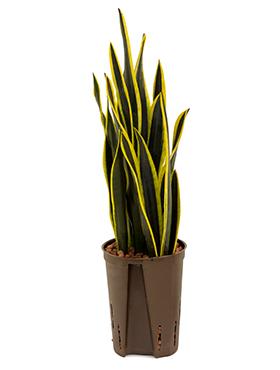 Sansevieria black gold 50 cm Limba soacrei - Limba lui Jinn - Limba sarpelui