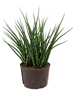 Sansevieria fernwood 70 cm Limba soacrei - Limba lui Jinn - Limba sarpelui