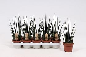 Sansevieria fernwood musica 30 cm