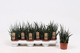 Sansevieria fernwood punk 35 cm